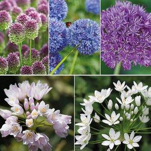 Allium 100 Bulb Collection Kb6770ffp Plants & Seeds