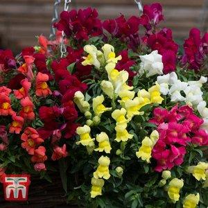 Antirrhinum 'candelabra' 9062 Plants & Seeds
