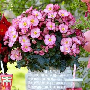 Begonia Elatior 'dreams Garden Macarose' Kb2832 Plants & Seeds