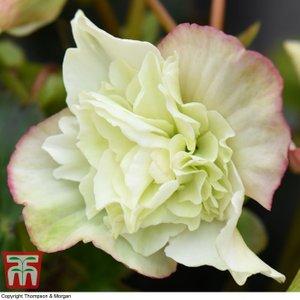 Begonia Elatior 'frivola Lime' Kb2793 Plants & Seeds