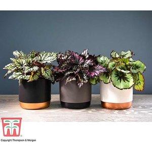Begonia Rex Trio - Gift Kb7073 Plants & Seeds