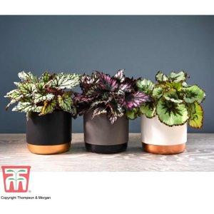 Begonia Rex Trio (house Plant) Kb5046 Plants & Seeds
