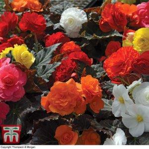 Begonia X Tuberhybrida 'non-stop Mocca' 8769 Plants & Seeds