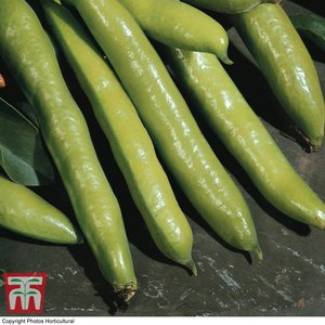Broad Bean 'aquadulce Claudia' Kb9641 Plants & Seeds