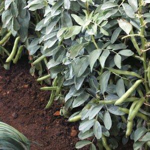 Broad Bean 'witkiem' 24319 Plants & Seeds