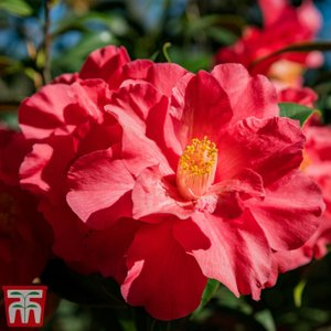 Camellia Japonica 'blood Of China' Kb9214 Plants & Seeds