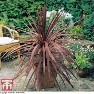 Cordyline Australis Purpurea 'purple Tower' 76523 Plants & Seeds