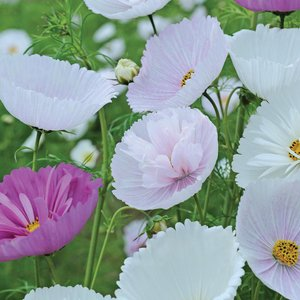 Cosmos Bipinnatus 'cupcakes And Saucers Mix' (garden Ready) 8771 Plants & Seeds