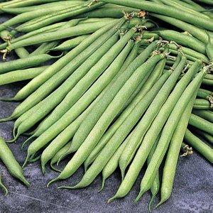 Dwarf Bean 'opera' 26694 Plants & Seeds