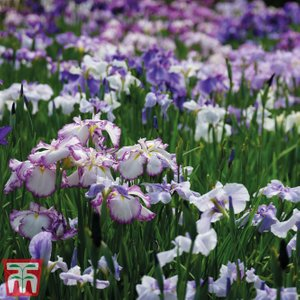 Iris Ensata Dinner Plate Collection Kb1792 Plants & Seeds