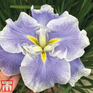 Iris Ensata Dinner Plate 'ice Cream' Kb1790 Plants & Seeds