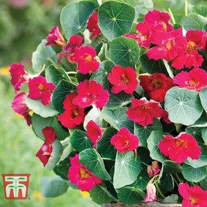 Nasturtium 'baby Deep Rose' Kb0437 Plants & Seeds
