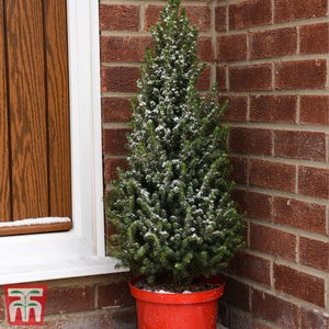 Potted Christmas Tree - Picea Perfecta - Gift Kb2672 Gifts