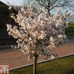 Prunus 'the Bride'