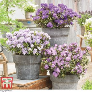 Rhododendron 'summer Blues Collection' Pp Plants & Seeds