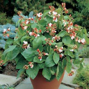 Runner Bean 'hestia' (dwarf) 26643 Plants & Seeds