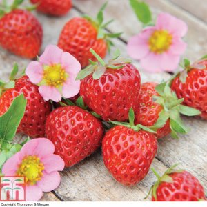 Strawberry 'just Add Cream™' Kb6216 Plants & Seeds