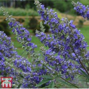 Vitex Agnus-castus 'delta Blues' Ka3061 Plants & Seeds