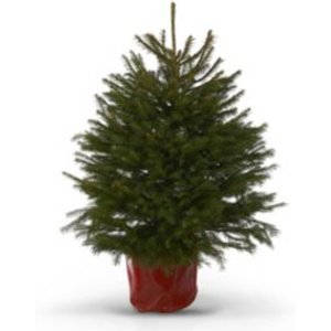 Verve 2ft 6in Norway Spruce Pot Grown Christmas Tree