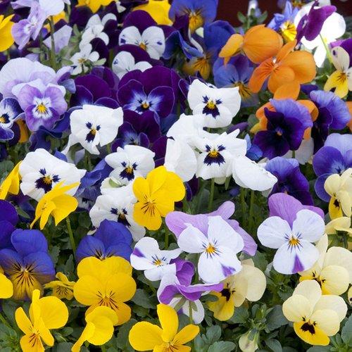 Van Meuwen Viola 'sorbet Mix' (pre-planted Hanging Basket) V65975 Plants & Seeds
