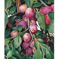 Unwins Victoria Bare Root Plum Tree