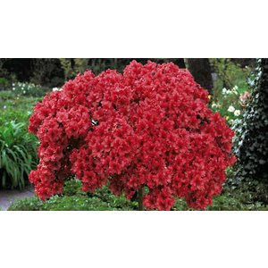 Suttons Consumer Products Ltd 1 Or 2 Azalea Standard Japanese Red 2l Plants Garden