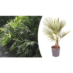 Blooming Direct 1 Or 2 Hardy 60-70cm Fan Palm Trees - Trachycarpus Garden
