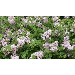 Suttons Consumer Products Ltd 1 Or 2 Lilac Dwarf 'palibin' Plants 2l Pot Garden