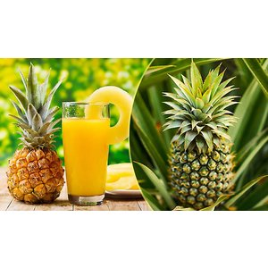 Blooming Direct Grow-your-own Edible Pineapple Plant - Supplied Already In Fruit! Garden